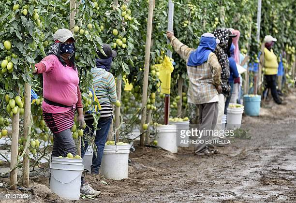 Farm day laborers work at a tomato field in Los Pinos San Quintin Valley Baja California State Mexico on April 23 2015 Some 30000 pesasants of Baja...