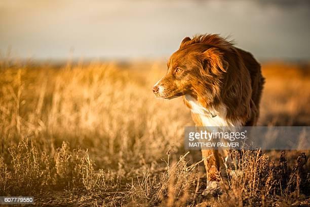 Farm dog on the prowl.
