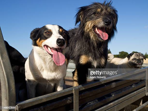 Farm dogs in New Zealand