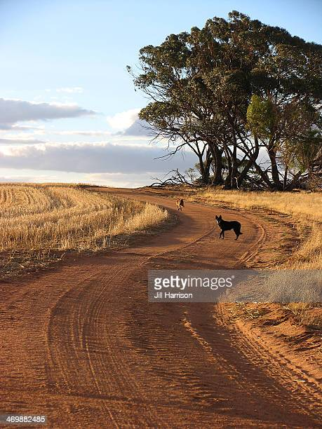 farm dogs on farm track - jill harrison stock pictures, royalty-free photos & images
