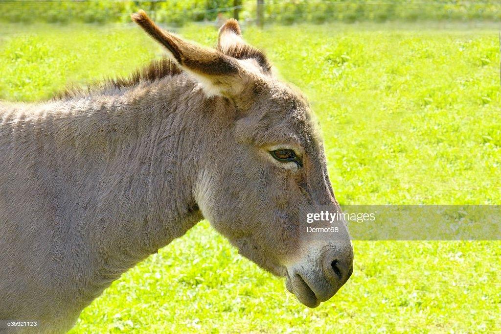 Farm donkey : Stock Photo
