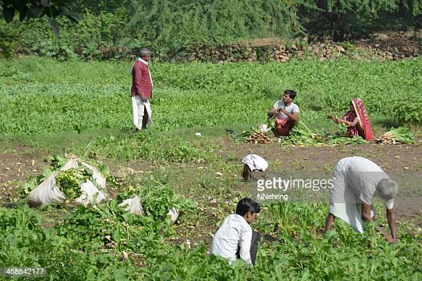 farm family harvest mooli