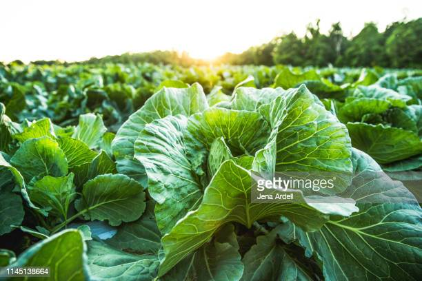 farm field with cabbage, organic food, organic farm, organic farming, healthy lifestyle, healthy food, healthy eating, farm to table - vegetable harvest stock pictures, royalty-free photos & images