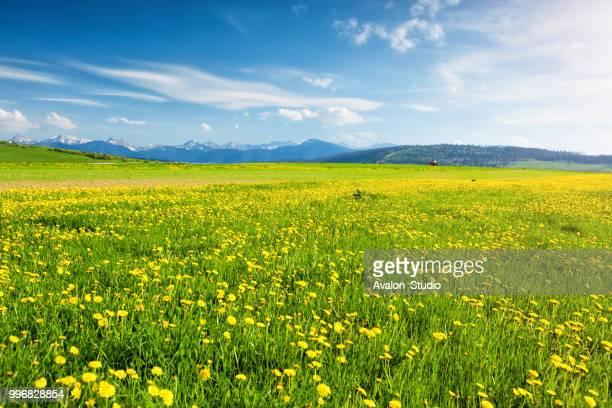 Farm field with dandelions