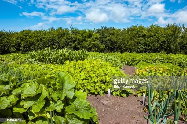 farm garden - vegetais - fotografias e filmes do acervo