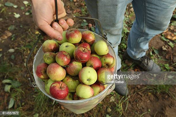 A farm hand carries a bucket of Kaiser Wilhelm apples after picking them from a tree at the Apfelhof Waehnert apple farm in Hoppenrade on October 14...