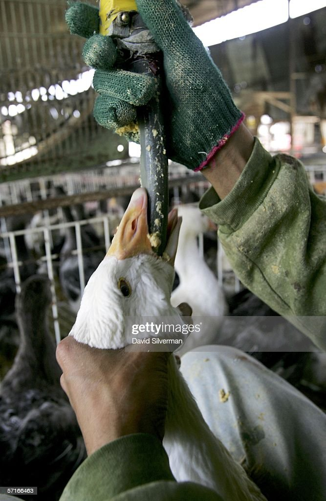 Force Feeding Of Geese To Be Banned In Israel : ニュース写真
