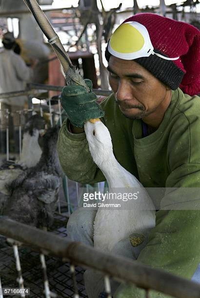 A farm hand uses a tube and a pneumatic pump to forcefeed a goose with enriched corn meal to enlarge its liver at Israeli farmer's Moshe Ben Ishti's...