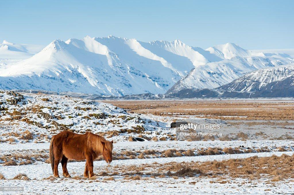 Farm horse in Iceland : Stock Photo