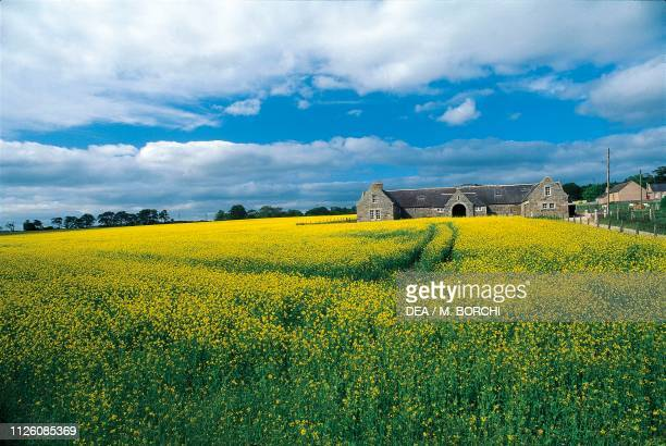 Farm in the middle of flower fields on the Grampian Mountains, Highlands, Scotland, United Kingdom.