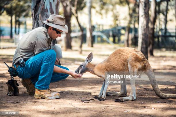 farm keeper feeding a kangaroo - zoo keeper stock pictures, royalty-free photos & images