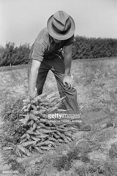 Farm Laborer Piling up Bunches of Carrots Camden County New Jersey USA Arthur Rothstein for Farm Security Administration October 1938
