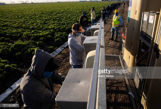 Farm laborers from Fresh Harvest arrive early in the morning to begin harvesting on April 27 2020 in Greenfield California They practice social...