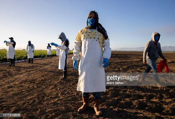 Farm laborers from Fresh Harvest arrive early in the morning to begin harvesting on April 28, 2020 in Greenfield, California. They practice social...