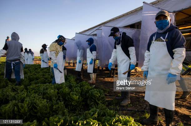 Farm laborers from Fresh Harvest working with an H-2A visa harvest romaine lettuce on a machine with heavy plastic dividers that separate workers...