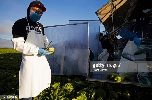 Farm laborers from Fresh Harvest working with an H2A visa harvest romaine lettuce on a machine with heavy plastic dividers that separate workers from...