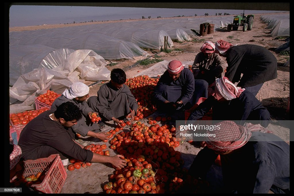 Farm laborers sorting tomatoes grown und : News Photo
