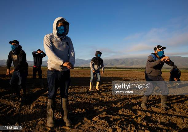 Farm laborers with Fresh Harvest arrive in the early morning to begin harvesting on April 28, 2020 in Greenfield, California. After washing their...