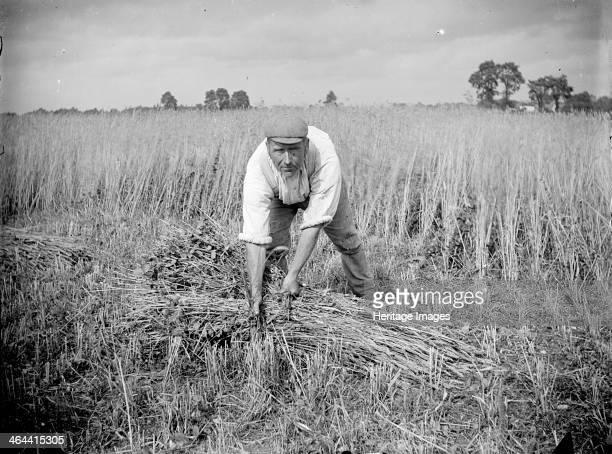 A farm labourer harvests cereal at Haddenham Buckinghamshire c1873c1923