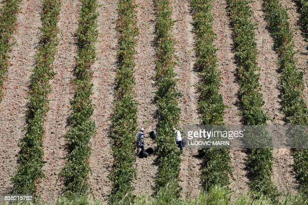 Farm labourers work in a vineyards on August 16 2017 in Marsala on the Italian island of Sicily