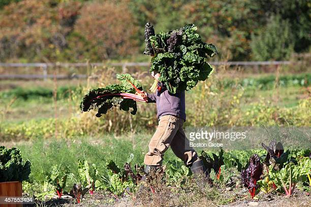 Farm Manager Erinn Roberts carries bunches of swiss chard during a morning harvest at Lexington Community Farm