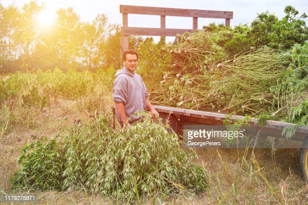 farm owner harvesting hemp plants - hemp stock pictures, royalty-free photos & images
