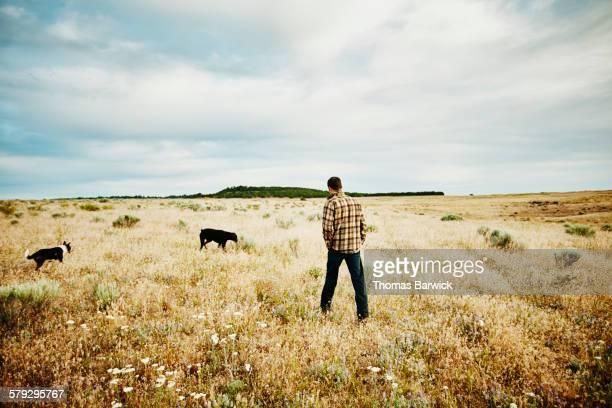 Farm owner walking through field on farm with dogs