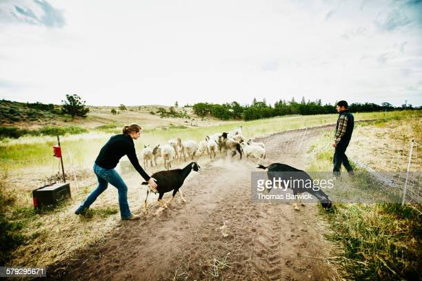 Farm owners herding goats and flock of sheep