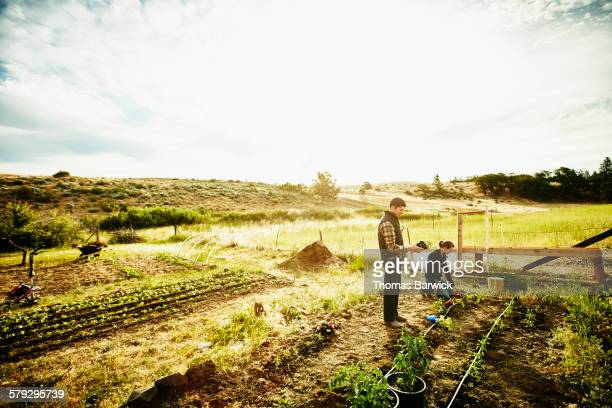 Farm owners planting tomato plants in garden