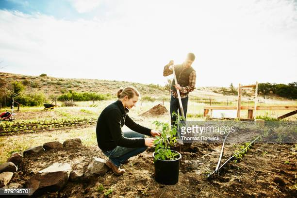 Farm owners preparing to plant tomato plants