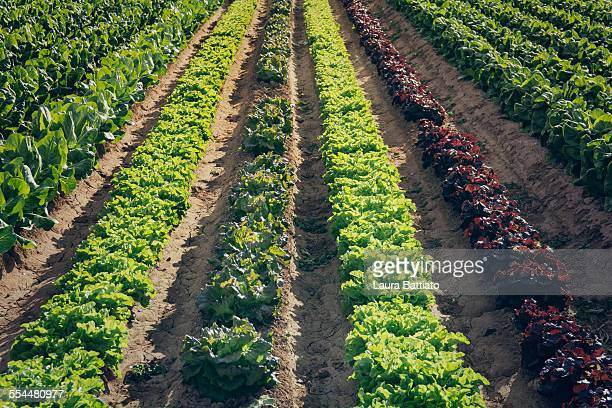 Farm rows with assorted kind of lettuces