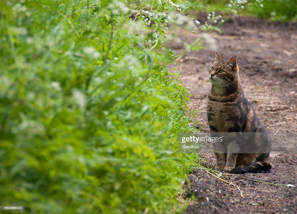 Farm tabby cat listening for prey : Stock Photo