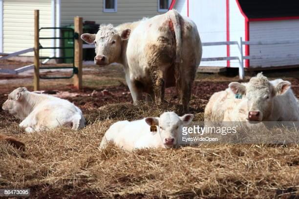 Farm with cows near Charlottetown Prince Edward Island Canada APRIL 19 2009