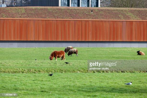 Farm with horse and sheeps ,Breille , Netherlands
