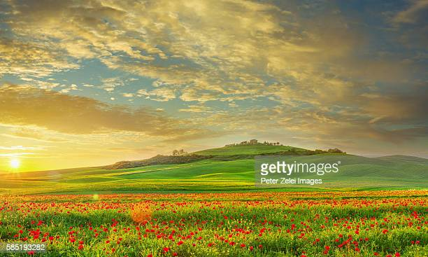farm with poppy field in tuscany, italy at sunset - val d'orcia foto e immagini stock