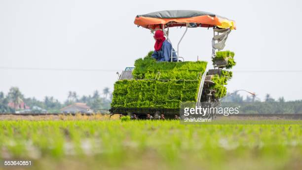 farm worker at paddy fields - shaifulzamri stock pictures, royalty-free photos & images