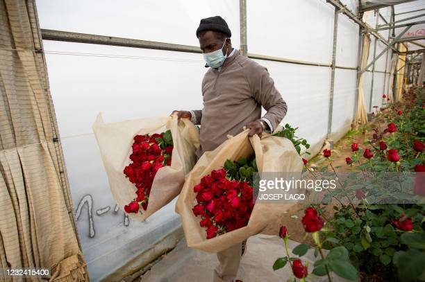 Farm worker carries roses that were selected for the Sant Jordi festival in Santa Susanna near Barcelona on April 20, 2021. - The florists' guild...