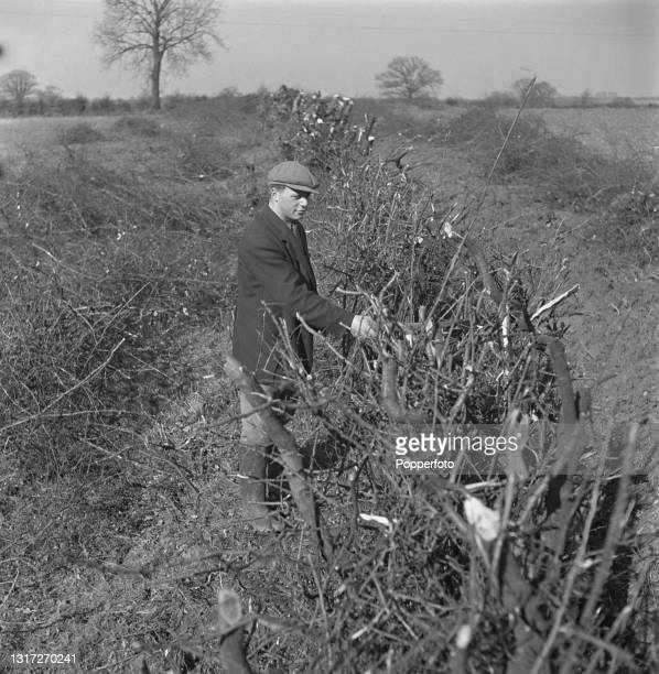 Farm worker checks a recently cut hedge on a field boundary at Ernest Smith's arable farm near Ware in Hertfordshire, England during World War II on...