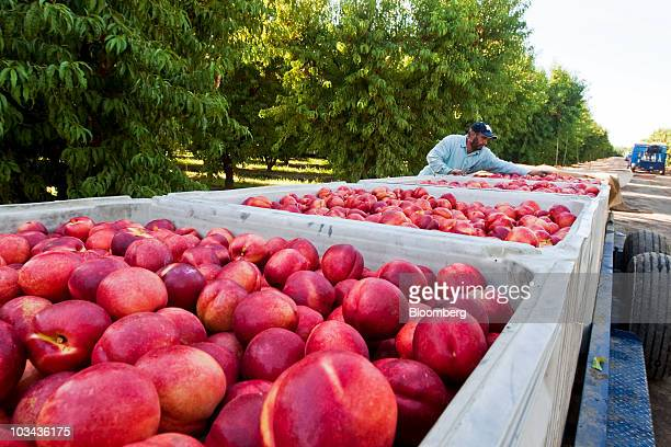A farm worker checks harvested nectarines in the orchard of a fruit packing company in Parlier California US on Thursday Aug 12 2010 California's...