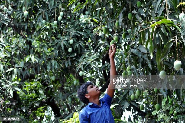A farm worker climbs a tree to pick mangoes at his field during the harvest season on June 24 2018 in Jammu India