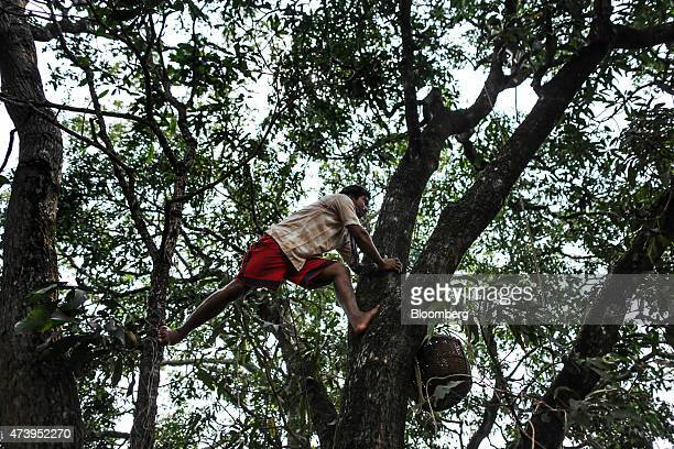 A farm worker climbs a tree with a rope and basket while harvesting Alphonso mangoes in Ratnagiri Maharashtra India on Saturday May 16 2015 The...