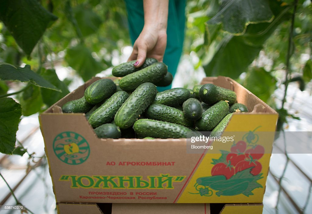 A farm worker collects cucumbers in a greenhouse at the Yuzhny Agricultural Complex, operated by AFK Sistema, in Ust-Dzheguta, Russia, on Wednesday, May 18, 2016. The plump hybrid tomatoes, named for the fearsome tank that helped trounce Hitler, are the pride of the Yuzhny Agricultural Complex, a mass of greenhouses the size of 2,300 football fields between the Black and Caspian seas. Photographer: Andrey Rudakov/Bloomberg via Getty Images
