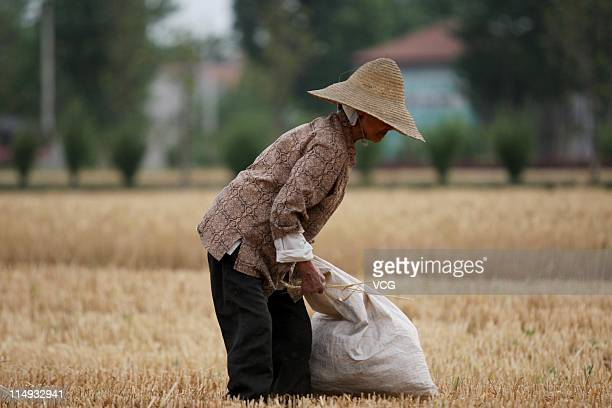 Farm worker gleans wheat in a field on May 29, 2011 in Huaibei, Anhui Province of China. Anhui province is expected to put 125,000 combine harvesters...