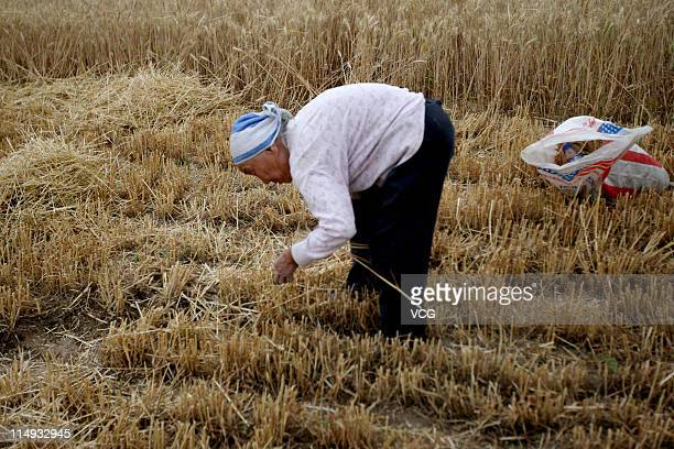 Farm worker gleans wheat in a field on May 29, 2011 in Huaibei, Anhui Province of China. Anhui province will put 125,000 combine harvesters into this...