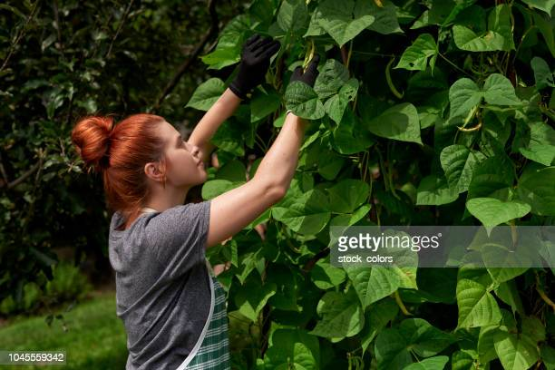 farm worker harvesting beans - bush bean stock photos and pictures