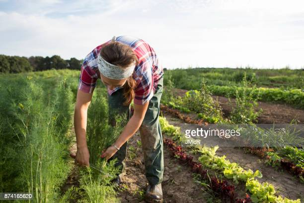 farm worker harvesting dill - organic farm stock pictures, royalty-free photos & images
