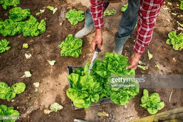 Ouvrier agricole, récolte de laitue