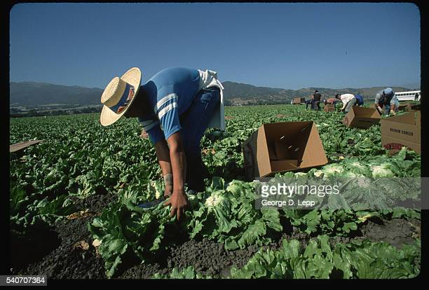 Farm Worker Harvesting Salinas Head Lettuce