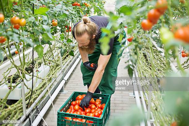 Farm worker harvesting tomatoes
