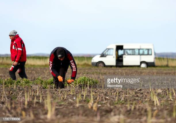 Farm worker harvests asparagus from a field at a farm near Sandwich, U.K, on Thursday, May 6, 2021. Migrant workers have left the U.K. In their tens...